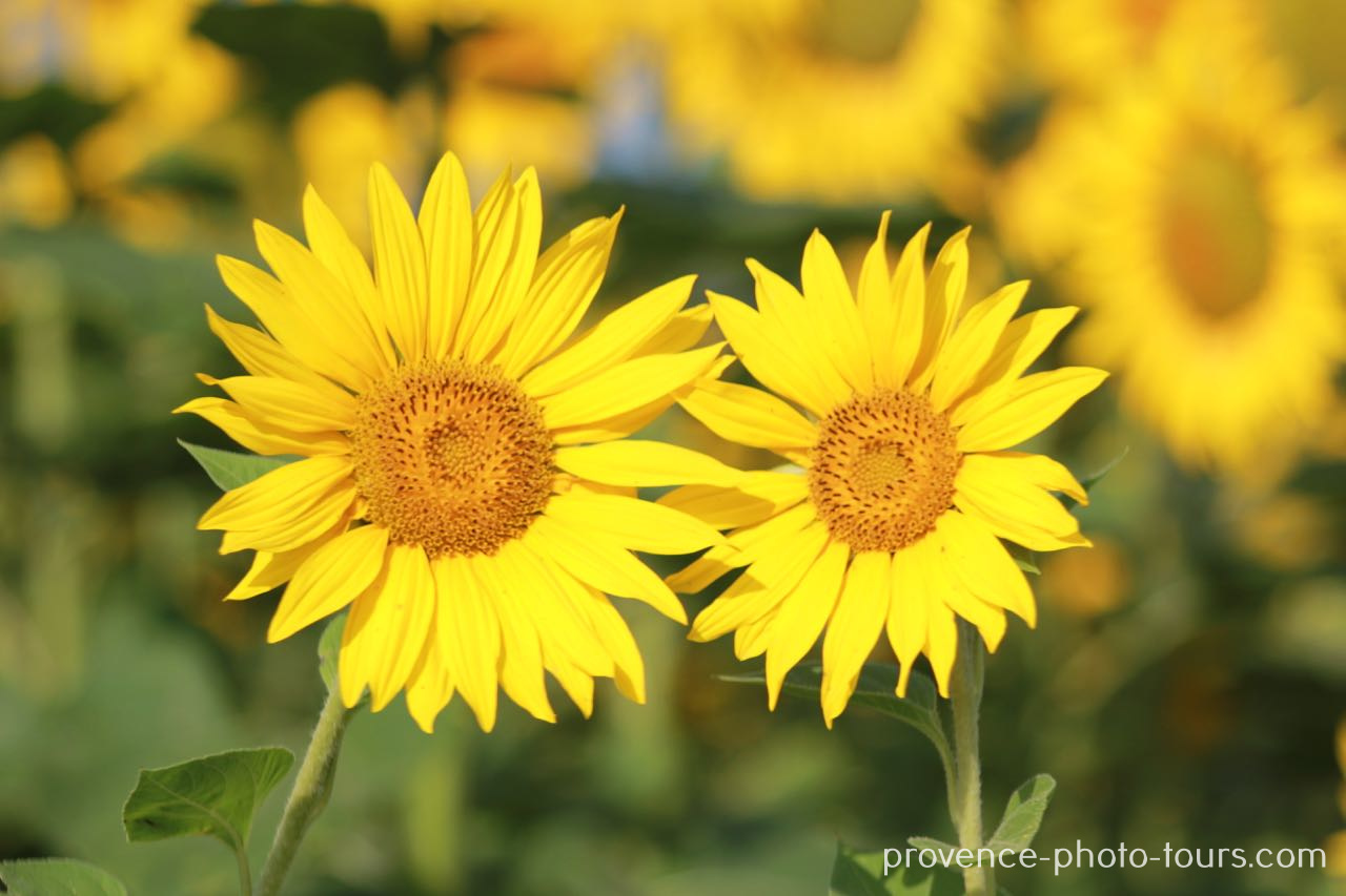 Sunflowers France